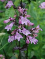 Penstemon digitalis 'Joke'2
