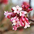 Floraison d'hiver : le viburnum x bodnantense