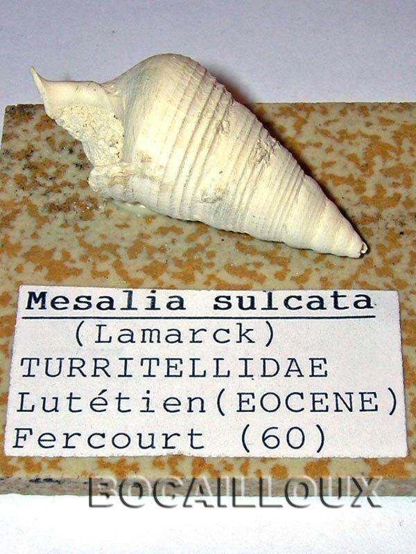 MESALIA SULCATA 2