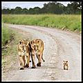 lionnes et lionceau