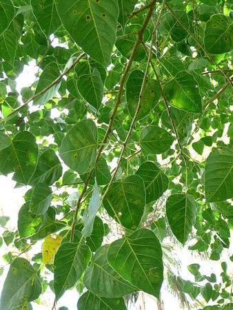 450px_Ficus_religiosa_trunk_01_by_Line1