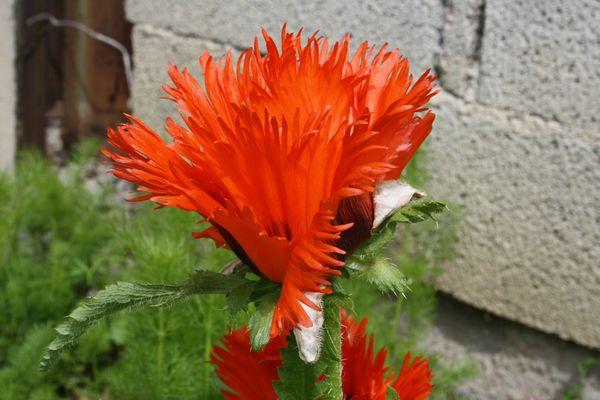 Fleurs_mai_2013 007