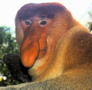 Portrait_of_a_Proboscis_Monkey