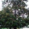 Magnolia grandiflora (Linné) • Magnolia à grandes fleurs