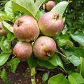 2009 09 02 Petites pommes dans l'arbre