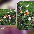 balanicole_2016_05_avril tulipes_71_magie des couleurs