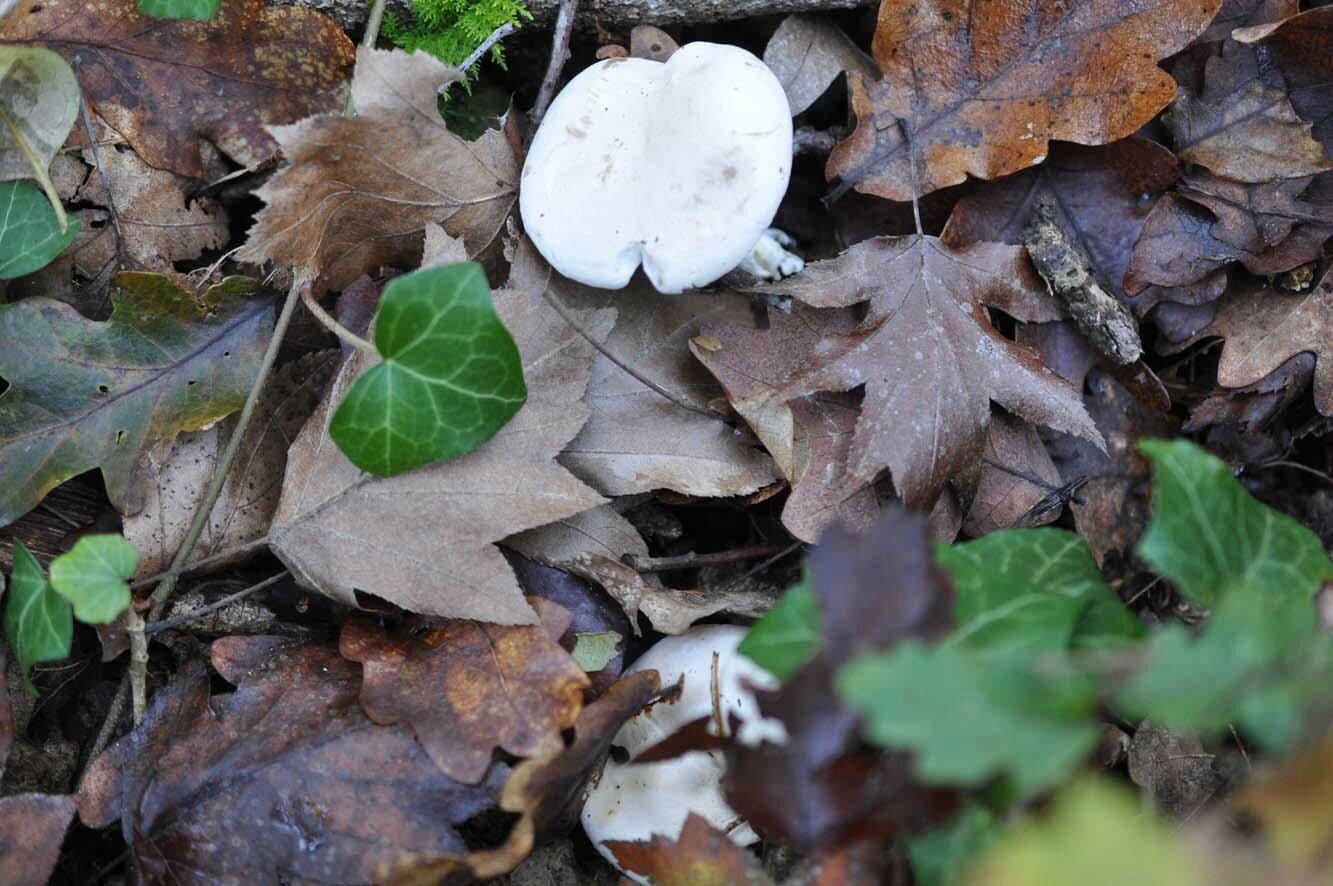 Clitopilus prunulus (1)