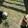 Poules bain de soleil lundi 11