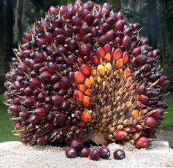 palmier_huile1