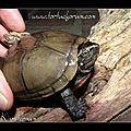 Kinosternon subrubrum hyppocrepis