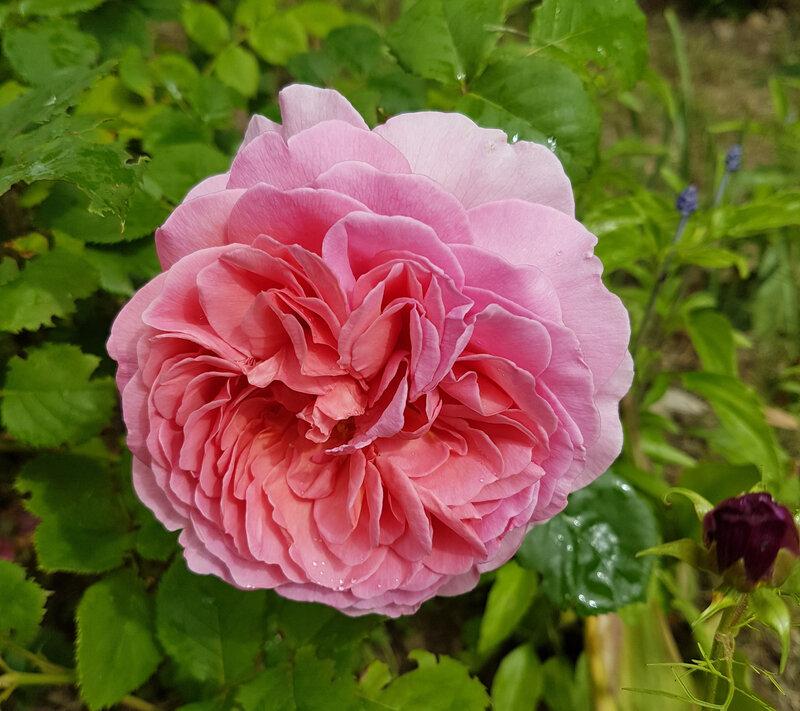 rose princesse alexandra of kent (5)