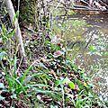 Jolis cèpes noirs sur le talus d'un cours d'eau...