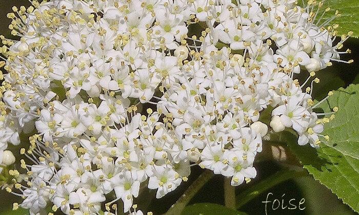 5 pétales étalés étamines à anthères blanc-jaunâtre