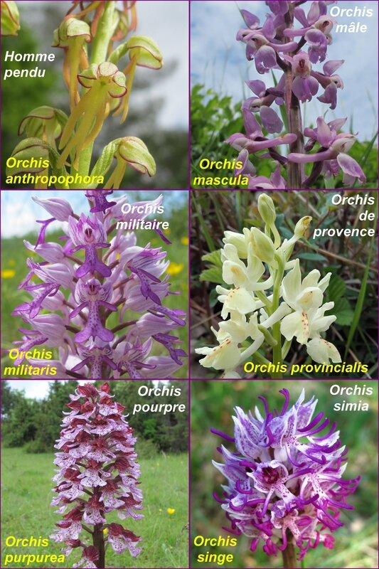 Tableau 6 orchis - comp