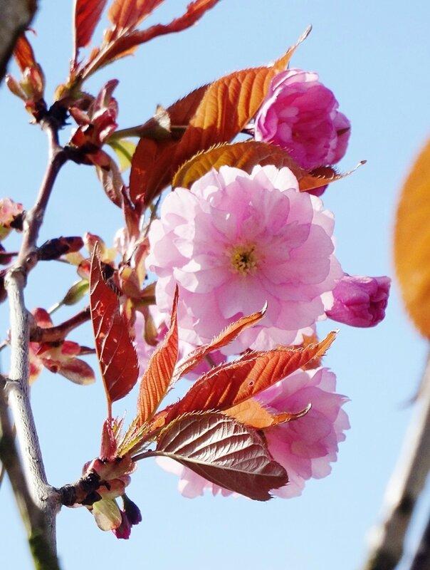 1ere fleur du prunus devant