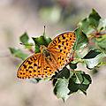 1 papillon