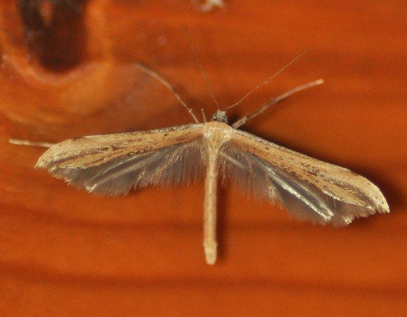Emmelina monodactyla (Ptérophore commun)