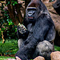 gorille loro parque2