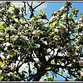 Fleurs de Pommier 1704154