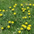 2008 05 07 Fleurs de pissenlits