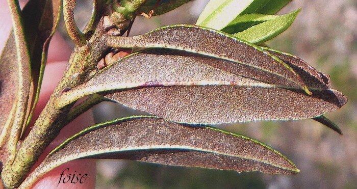 couvertes de glandes couleur de rouille en dessous