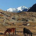 chevaux à Kyanjing Gompa