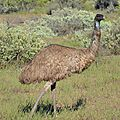 Un emeu