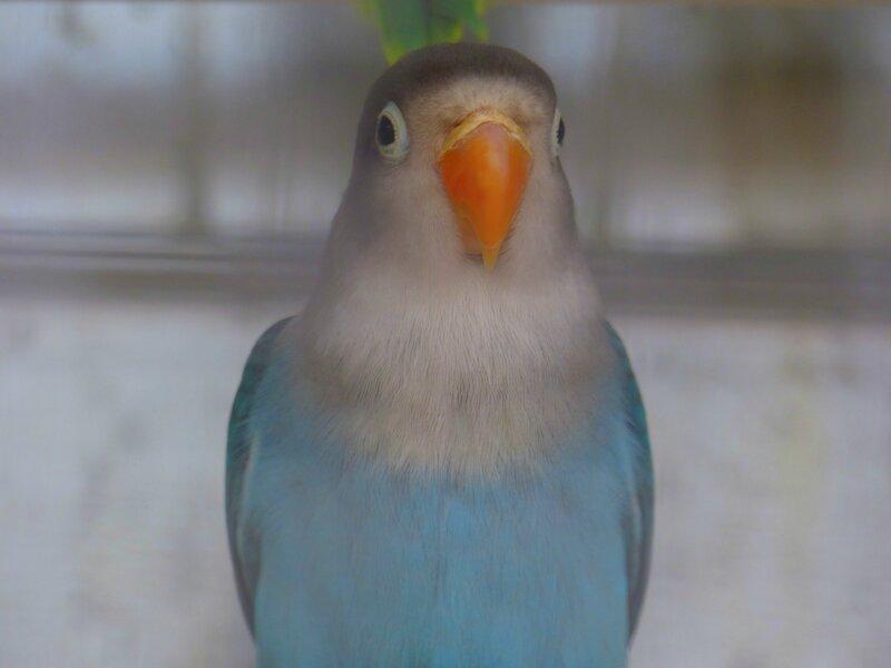 chez tropiflora les oiseaux de viviane (8)