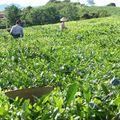 Récolte du Thé - Moc Chau juillet 2010