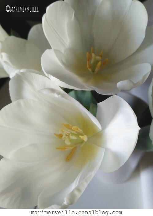 tulipes blanches - marimerveille