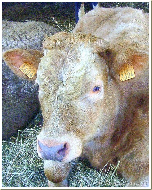 Les vaches blonde d'aquitaine et leurs veaux (4)