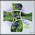 Portiragnes 2015 - iris d'espagne en fleur