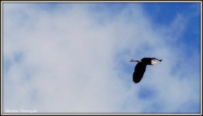 Héron en vol au Lac 050215