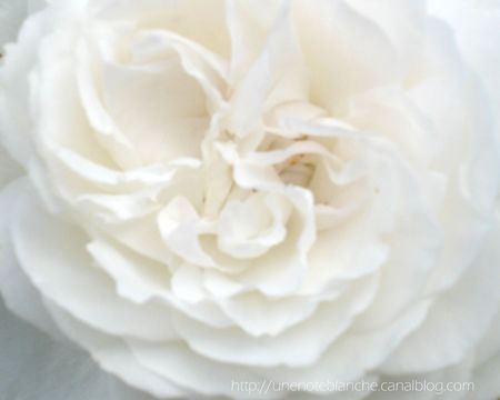 rose_blanche