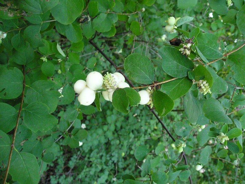 symphorine-blanche-symphoricarpos-albus