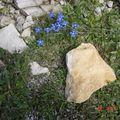 petites fleurs bleues entourées de pierres