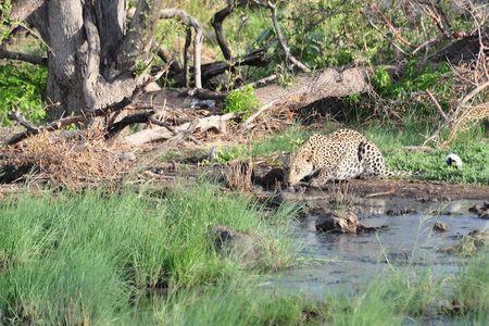 Léopard, parc d'Etosha, Namibie