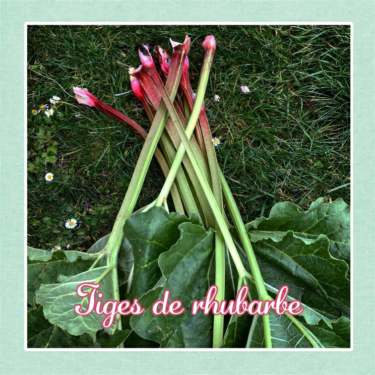 Tiges de rhubarbe