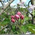 Les stades floraux des fleurs de pommier