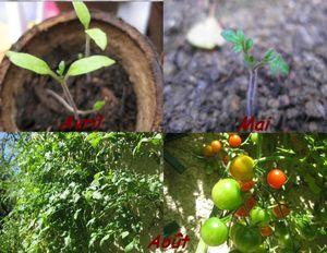 Pousse_tomate
