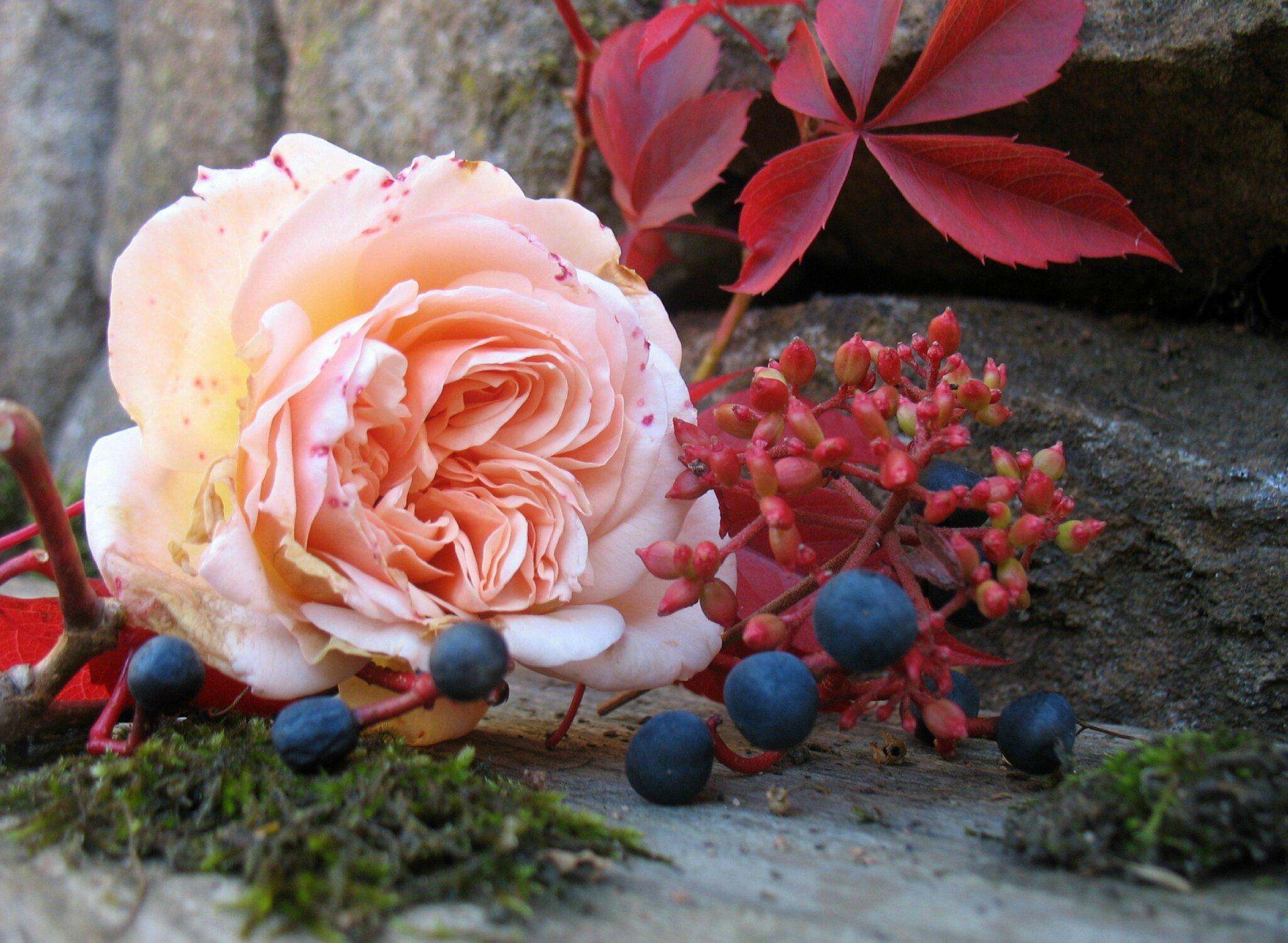 """Résultat de recherche d'images pour """"rose d'automne"""""""