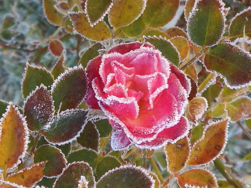 Rose_sucre_gla_e__2_