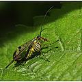 Mouche-scorpion : panorpa