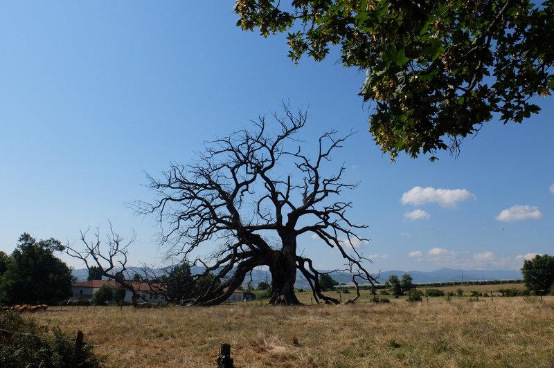Chêne à Saint Maurice sur Dargoire (4)