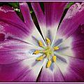 Coeur de tulipe 4