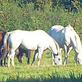 Les chevaux du grand'verger,charente,
