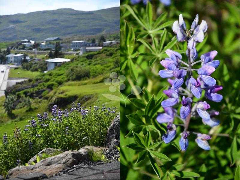 Islande, lupin