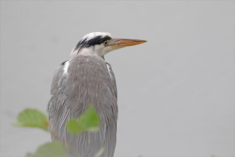 Oiseau héron pluie GP 061020