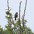 Lesbos oiseaux 28 - Bruant cendrillard