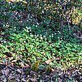 Isopyre faux pigamon, thalictrella thalictroïdes